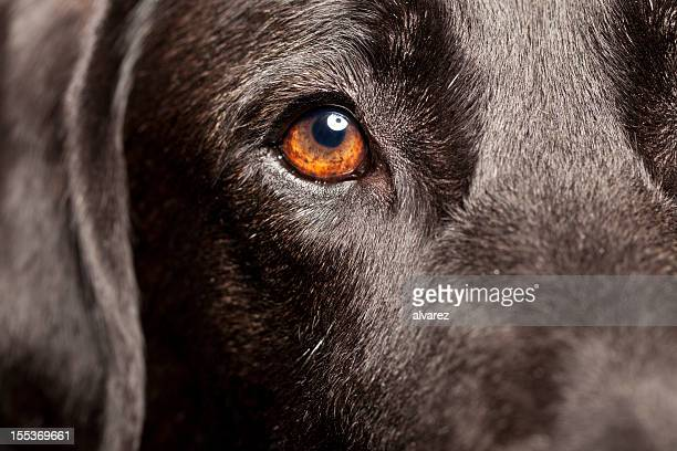 Close Up of a Black Labrador