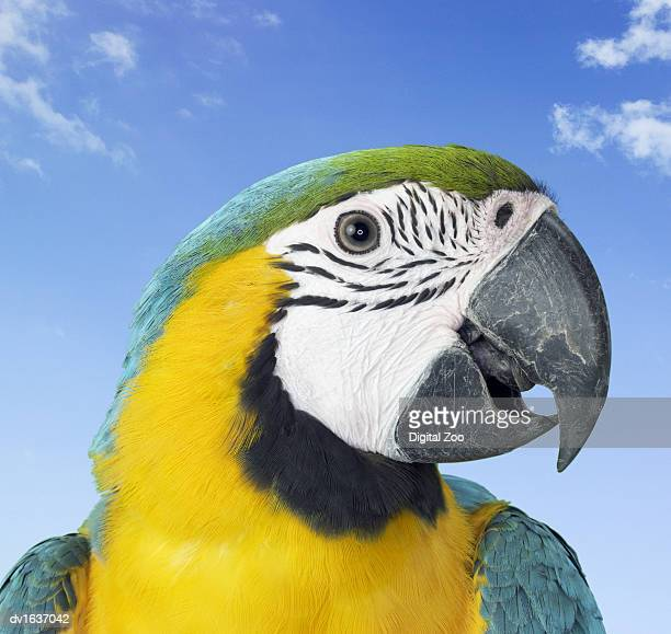 Close Up of a Blue and Yellow Macaw