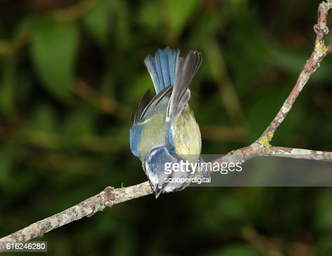 Close up of a Blue Tit : Stock Photo
