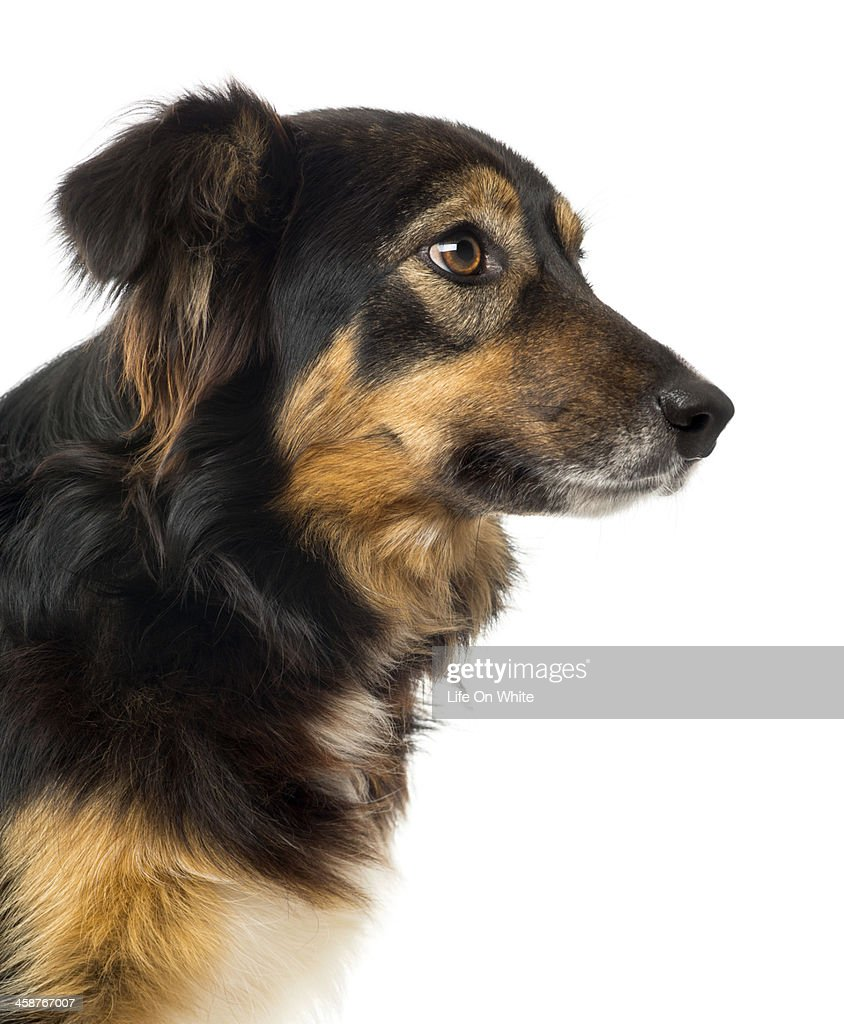 Close up of a Border Collie, isolated on white : Stock Photo