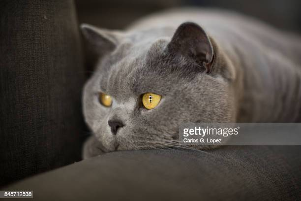 Close up of a British Short hair cat lying on couch looking away