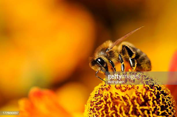 A close up of a bumblebee on a yellow flower