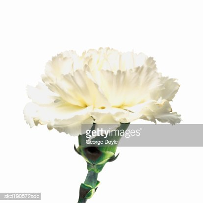 Close up of a carnation