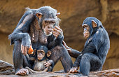 Close up of a Chimpanzee-family (mother and her two kids)
