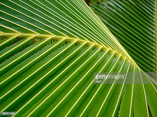 Close up of a coconut palm leaf