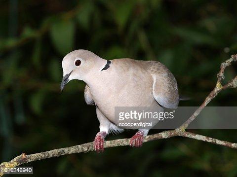Close up of a Collard Dove : Foto de stock