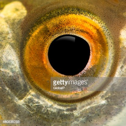 Close up of a Common roach's eye : Stockfoto