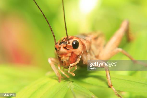 Close up of a cricket on a green leaf