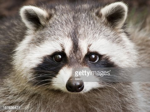 Close Up Of A Cute Raccoon Face Stock Photo | Getty Images Raccoon With No Hair