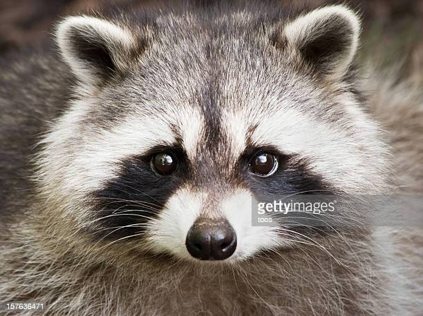 Close up of a cute raccoon face