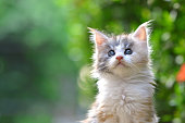 Close up of a cute silver patched blue eyes kitten sitting on a wooden floor in garden. Adorable cat with blurry green background