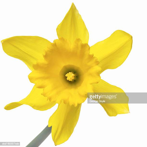 Close up of a daffodil
