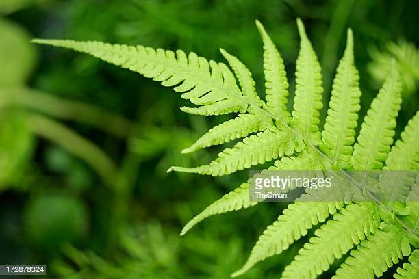 Close up of a fern leaf with other ferns in background