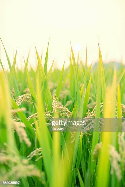 Close up of a field of rice in Yangzhou,China