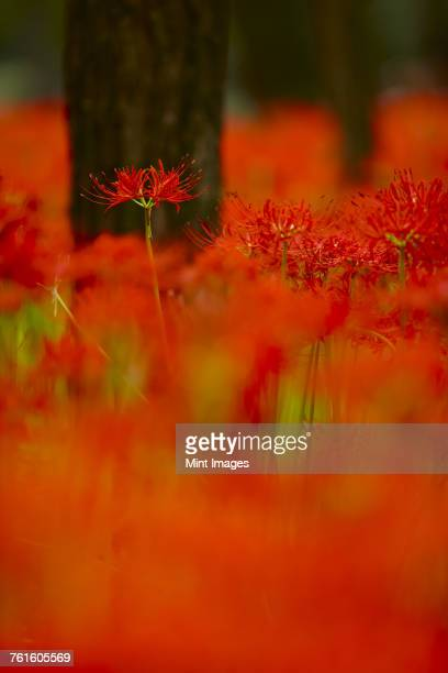 Close up of a field of vibrant red higanbana, Equinox flowers.