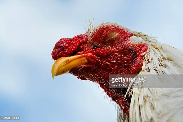 Close up of a fighting rooster sleeping outside the breeding station in Villavicencio Colombia on April 17 2006 Cockfight is a widely popular and...