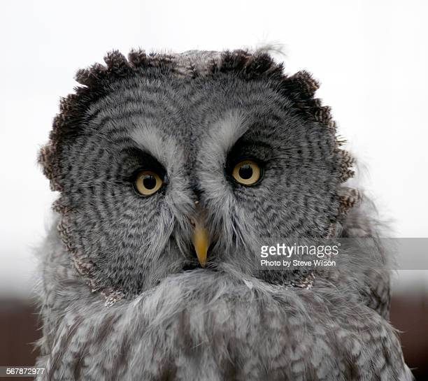 Close up of a Great Grey Owl