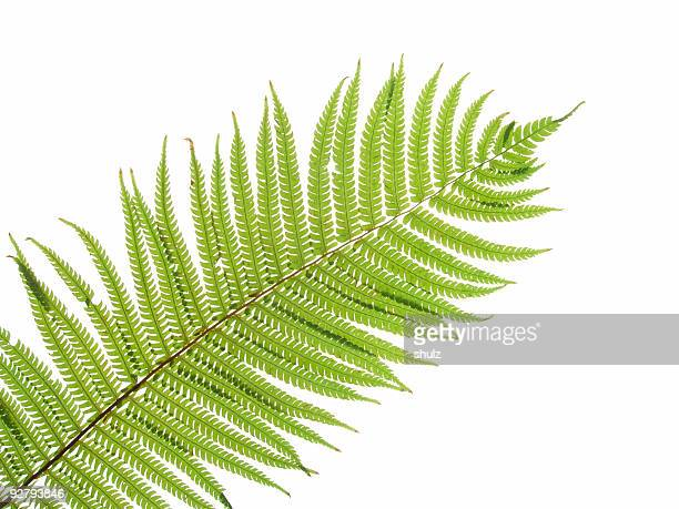 Close up of a green fern leaf against white background