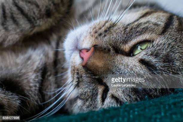 Close up of a grey tabby cat relaxing in bed