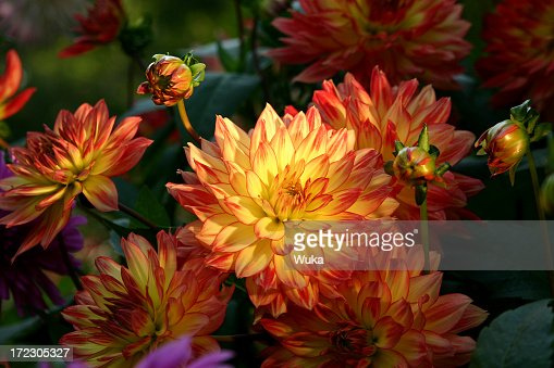 Close up of a group of dahlias in bloom