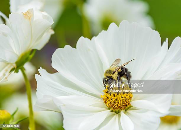 Close up of a honeybee sitting on a white flower with yellow center