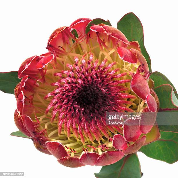 Close up of a king protea