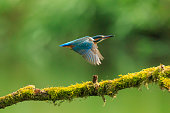 A closeup of a kingfisher (Alcedo atthis) in flight, landing on a branch during Springtime in early morning sunlight. The background is green, selective focus is used.