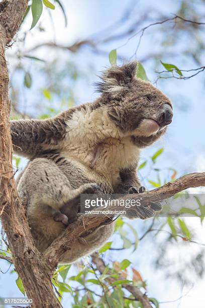 Close up of a Koala moving on an eucalyptus tree