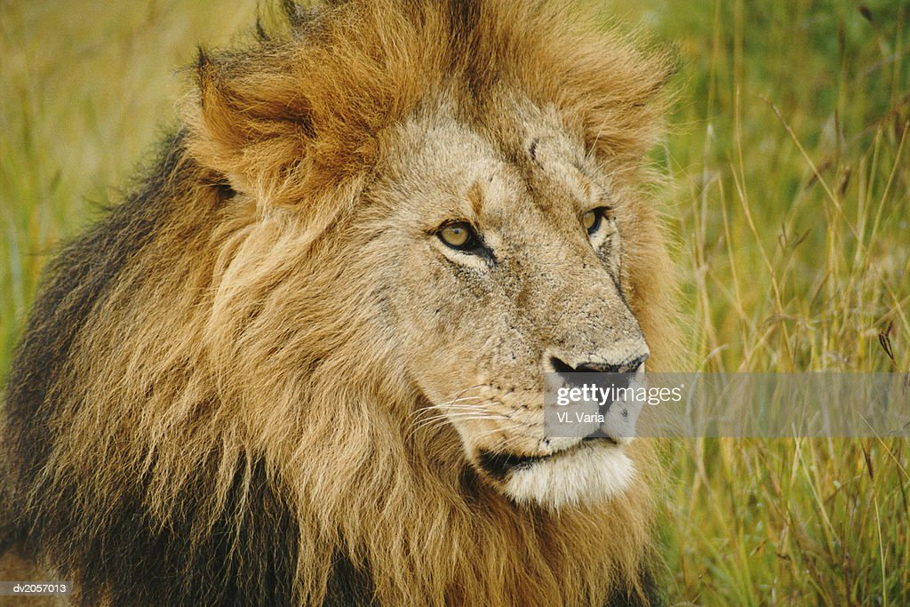 Close up of a Lion's Head : Stock Photo