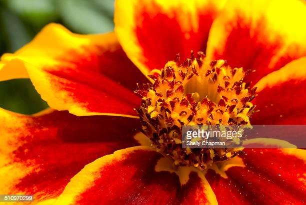 Close up of a merigold flower head