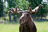 A wild moose in the deep forest in Sweden