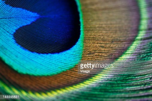 Close up of a peacock feather : Stock Photo