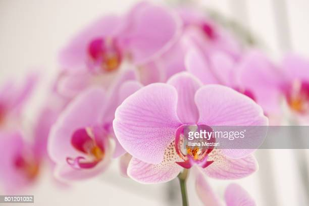 close up of a pink indoors orchid