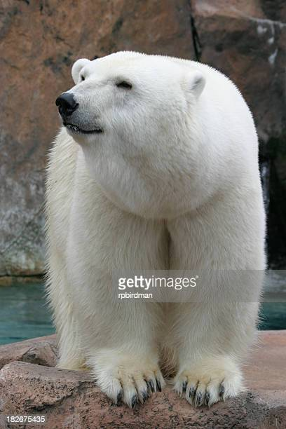 Close up of a polar bear in the zoo outside of the water