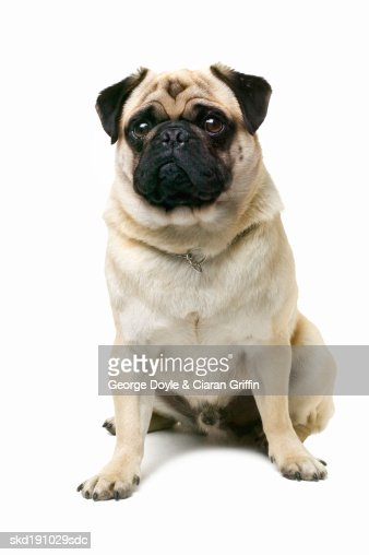 Close up of a pug : Stock Photo