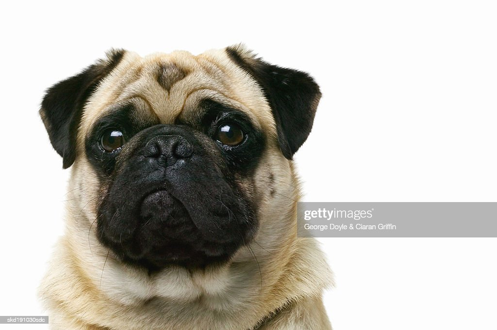 Close up of a pug : Stock Photo