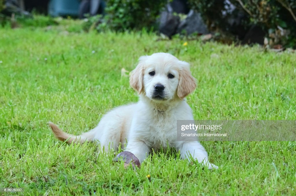 Close up of a purebred female golden retriever puppy lying on grass and looking at camera : Stock Photo
