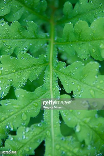 Close up of a Raindrop Covered Fern
