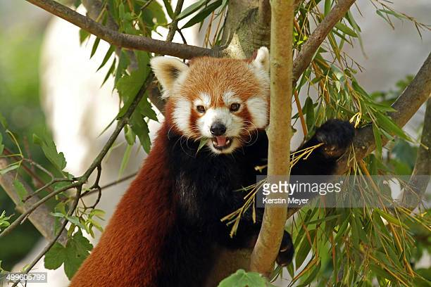 Close up of a red panda eating leaves