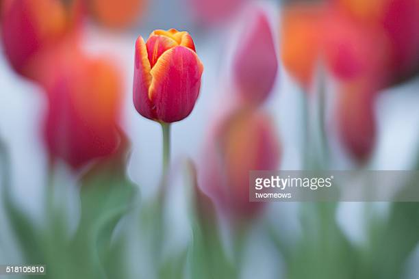 Close up of a red Tulip in flower bed.