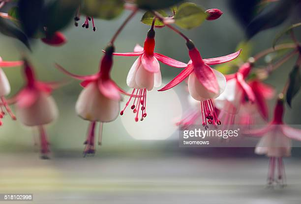 Close up of a roll of blooming fuchsia. Fine art floral photography.