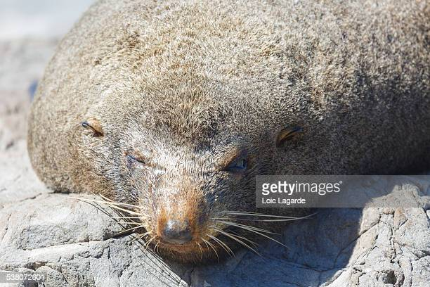 Close up of a seal in Cape Palliser