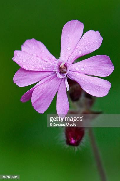 Close up of a silene