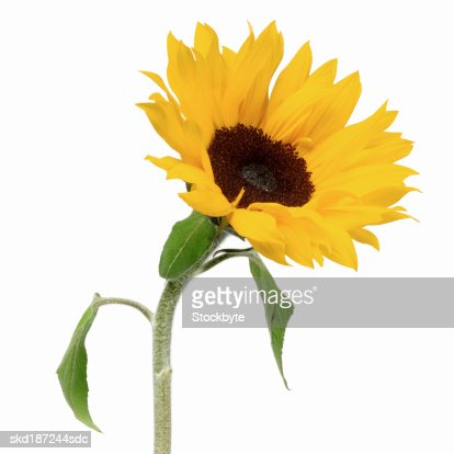 Close up of a sunflower : Stock Photo