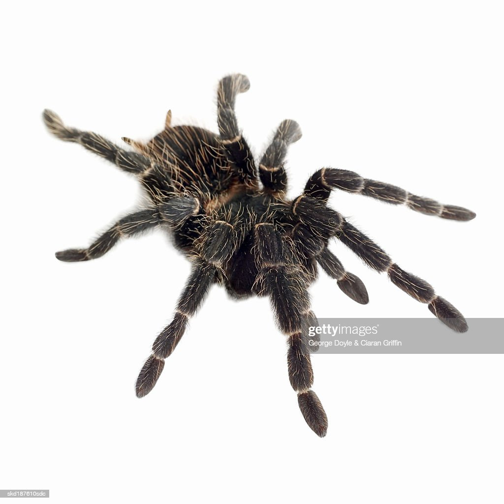 Close up of a tarantula : Stock Photo