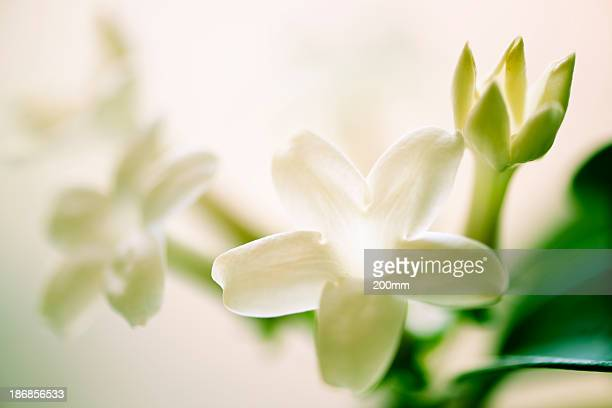 Close up of a white Madagascar jasmine flower