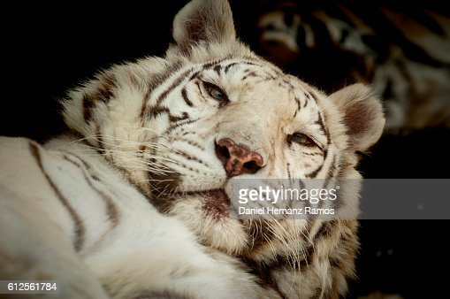 White tiger close up face - photo#20