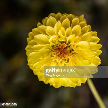 Close up of a yellow flower : Stock Photo