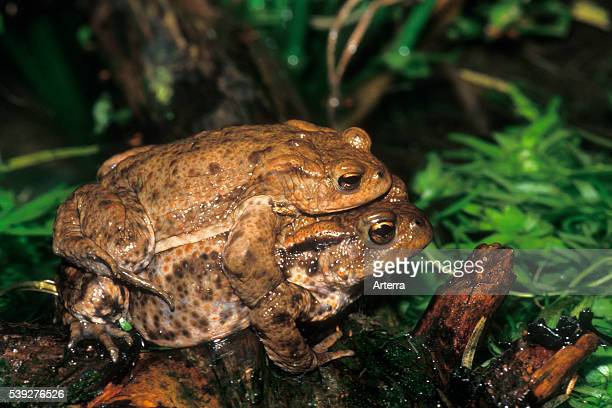 Close up of amplexus behaviour of male and female European common toads at night in spring