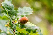 Close up of an acorn on a branch of an oak tree in a forest in autumn